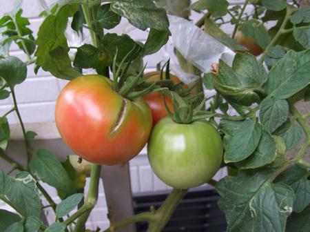 tomato-907a8.JPG