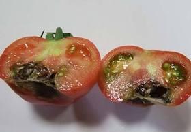 トマトがかかりやすい病気は?