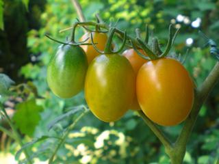 トマトの挿し芽のコツ
