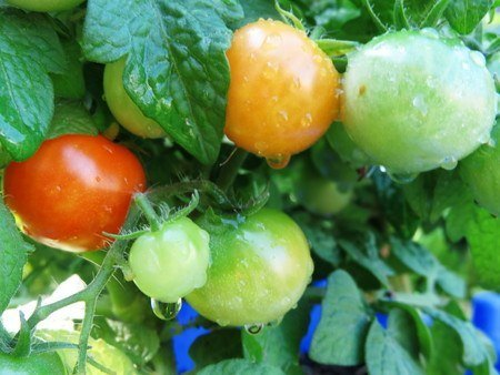 tomato020.jpg