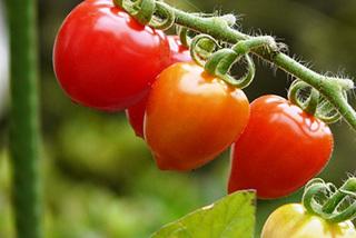 トマトの水やりと雨よけ対策
