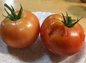 トマトの鳥害対策