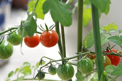 tomato (7).jpg