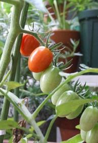 ミニトマト ベランダ栽培のコツ