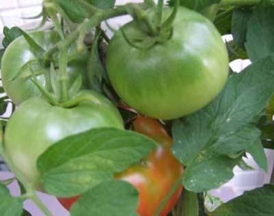 tomato (13).JPG