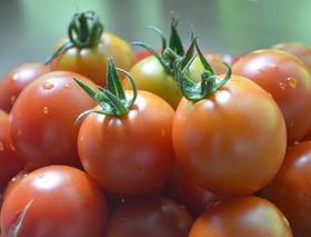 トマト 水やりのコツは?