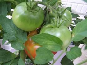 トマト 地植え 支柱の立て方