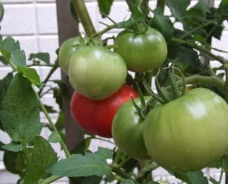 tomato (2).JPG