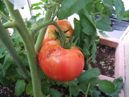 tomato (4).JPG