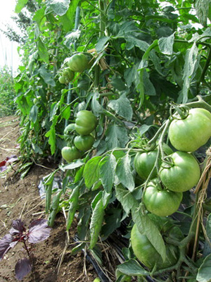 tomato3 (2).jpg