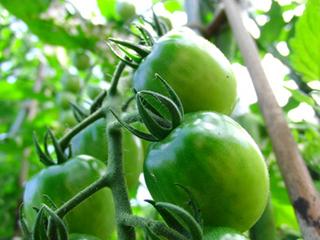 トマトの育て方|病虫害発生前に収穫するのがコツ!