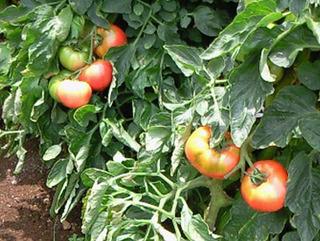 トマトのプランター栽培|摘芯と摘果で大きく甘く育てます