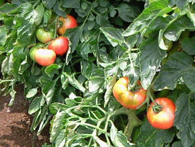 tomatoD.jpg