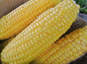 トウモロコシ 収穫時期の見分け方