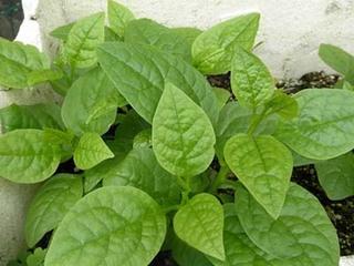 ツルムラサキのプランター栽培|暑い夏に生長、緑のカーテンにも