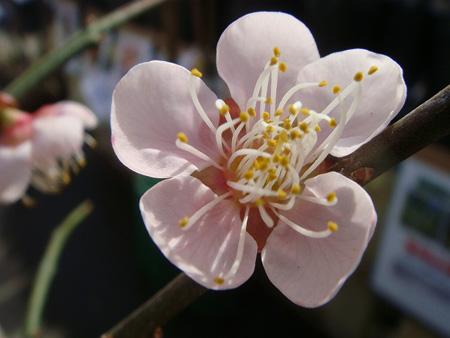 ume oushuku1 (1).jpg