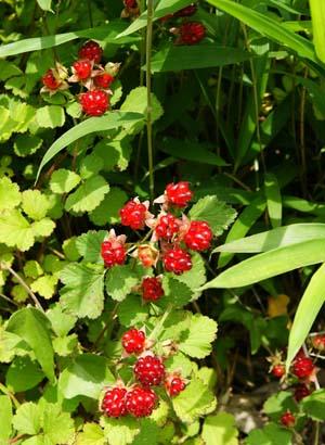 wild strawberry (3).jpg