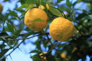 ユズの育て方 鉢植え|低木のハナユが栽培しやすい